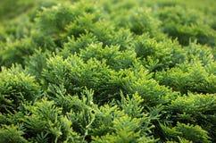 Cespuglio verde del thuja Immagine Stock