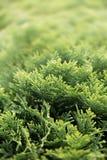 Cespuglio verde del thuja Fotografia Stock