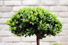 Cespuglio verde dell'albero dei bonsai Immagine Stock