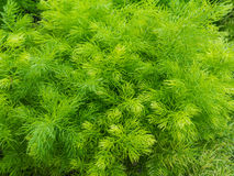 Cespuglio verde fresco del primo piano di Shatavari (asparago r Fotografie Stock