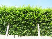 Cespuglio verde piacevole Fotografie Stock Libere da Diritti