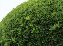 cespuglio verde, pianta Fotografie Stock