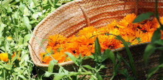 Cesta com as flores do calendula Fotografia de Stock