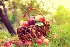 Cesta com as maçãs na grama Foto de Stock