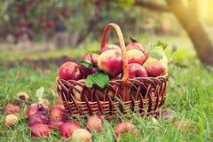 Cesta com as maçãs na grama Fotografia de Stock