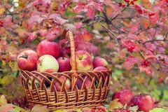 Cesta com as maçãs na grama Fotos de Stock
