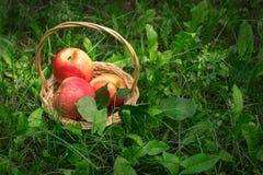Cesta com as maçãs na grama sob a árvore de fruto seletivo Imagens de Stock Royalty Free