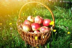 Cesta com as maçãs na grama verde Fotografia de Stock Royalty Free