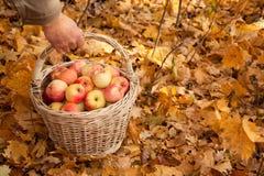 Cesta com as maçãs na mão do homem nas folhas de plátano Fotografia de Stock Royalty Free