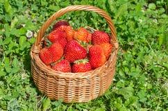 Cesta com as morangos maduras na grama Fotos de Stock