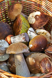 Cesta com cogumelos comestíveis Foto de Stock Royalty Free