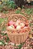 Cesta com maçãs maduras Imagens de Stock Royalty Free