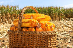 Cesta com milho de GMO na colheita Imagens de Stock