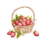 A cesta com morangos Ilustração da aquarela da tração da mão Fotos de Stock Royalty Free