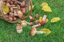 Cesta com os cogumelos comestíveis na grama verde Fotografia de Stock Royalty Free