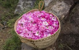Cesta com os rosepetals na terra imagem de stock