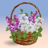 Cesta com ramos do lilás branco e cor-de-rosa ilustração royalty free