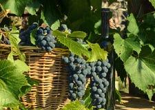 Cesta com uvas e uma garrafa Imagem de Stock Royalty Free
