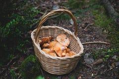 Cesta completa com os cogumelos ensanguentados do tampão do leite fotos de stock royalty free