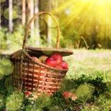Cesta completa das maçãs na grama Fotografia de Stock