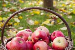 Cesta completa de maçãs enormes vermelhas na grama saudável, mares do outono Imagens de Stock Royalty Free