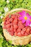 Cesta completamente da framboesa e da flor maduras Imagem de Stock Royalty Free