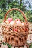 Cesta completamente das maçãs Fotos de Stock