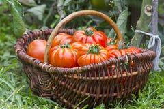 Cesta completamente de tomates recentemente colhidos imagem de stock