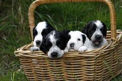 Cesta completamente dos cachorrinhos Fotografia de Stock