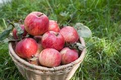 Cesta con la cosecha de las manzanas en hierba Imagenes de archivo