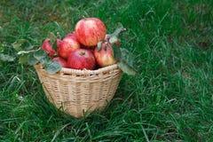 Cesta con la cosecha de las manzanas en hierba Imagen de archivo