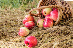 Cesta con las manzanas maduras Fotografía de archivo