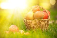 Cesta con las manzanas rojas en otoño Imagen de archivo