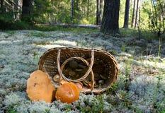 Cesta con las setas en bosque del pino Foto de archivo