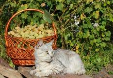 Cesta con las uvas blancas cosecha y gato Fotografía de archivo libre de regalías