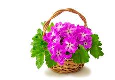 Cesta con las violetas florecientes en un fondo blanco Foto de archivo libre de regalías