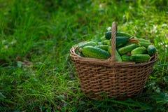 Cesta con los pepinos Cosecha del otoño Espacios en blanco de la cosecha del verano para el invierno Cesta de verduras Pepinos fr imagen de archivo