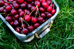 Cesta da cereja Cherry Tree Branch Cerejas maduras frescas ch doce Fotografia de Stock Royalty Free