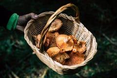 Cesta da terra arrendada da mão do homem com os cogumelos ensanguentados escolhidos do tampão do leite imagem de stock royalty free