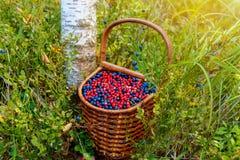 Cesta da uva-do-monte e da airela na floresta perto do amon da árvore Foto de Stock