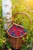 Cesta da uva-do-monte e da airela na floresta perto do amon da árvore Imagem de Stock Royalty Free