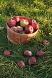 Cesta das maçãs na grama Fotos de Stock Royalty Free