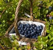 Cesta das uvas-do-monte Fotos de Stock Royalty Free