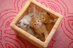 cesta de 3 gatitos foto de archivo libre de regalías