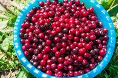 Cesta de cerezas maduras frescas Imagen de archivo libre de regalías