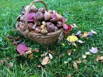 Cesta de cogumelos da floresta Imagem de Stock