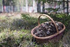 Cesta de conos del pino Imagenes de archivo