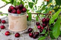 Cesta de la cereza Cherry Tree Branch Cerezas maduras frescas ch dulce Imágenes de archivo libres de regalías