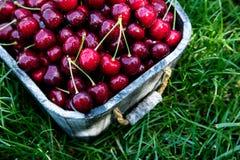 Cesta de la cereza Cherry Tree Branch Cerezas maduras frescas ch dulce Fotografía de archivo libre de regalías