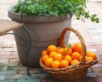 Cesta de la cosecha de naranjas y de un pote de hierbas fotos de archivo libres de regalías